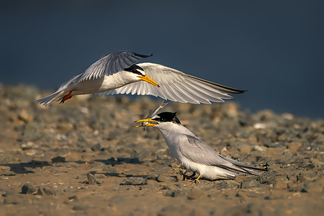 Least Tern food exchange 3(3): Mission accomplished
