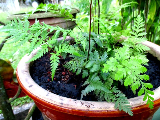 Pot of ferns