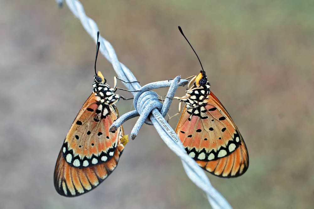 Barbed wire butterflies