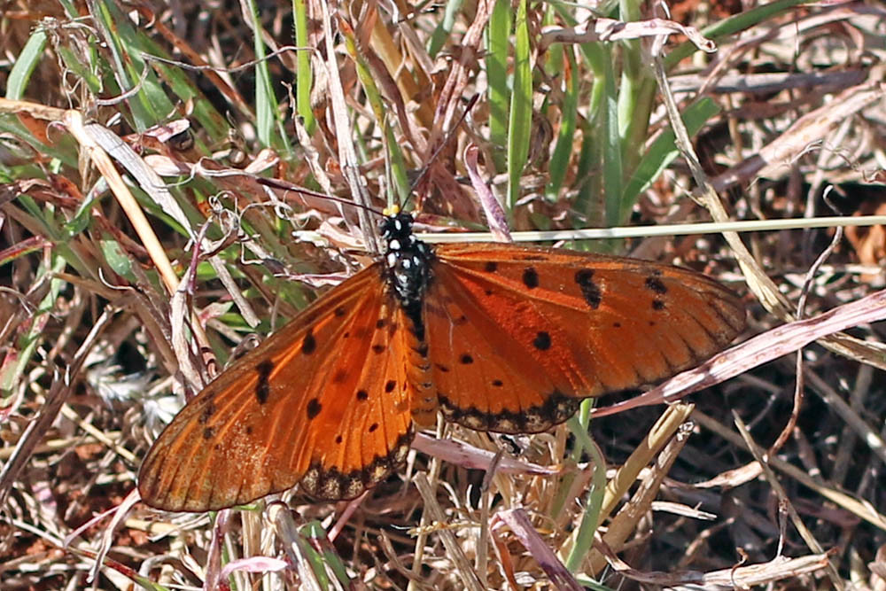 Tawny Coster, top side