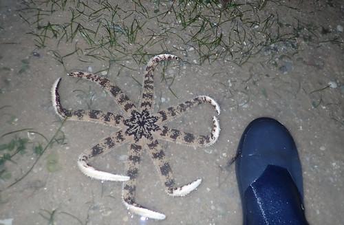 Eight-armed Luidia sea star (Luidia maculata)