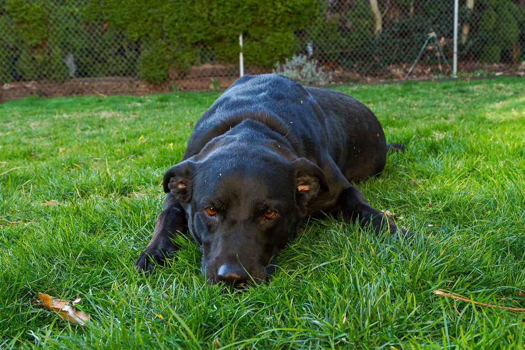 Our dog Ellie lying down in the backyard in February 2010