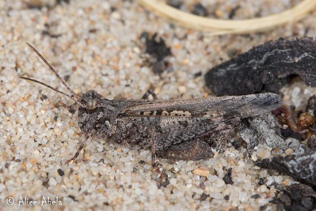 Cristate Grasshopper (Conozoa texana) - Male