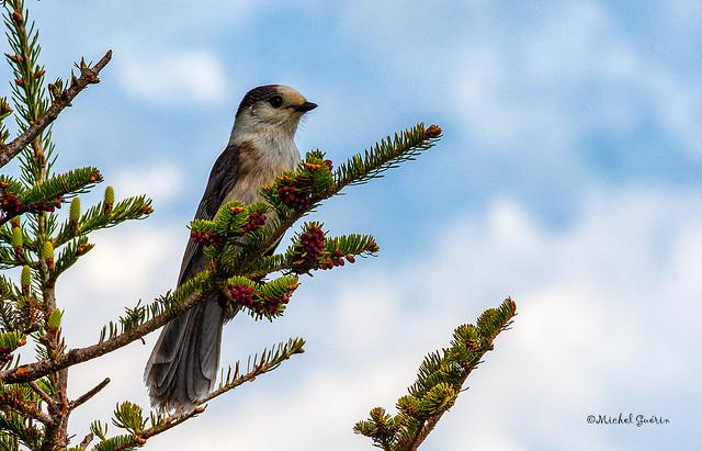 Mésangeai du Canada - Gray Jay - Perisoreus canadensis
