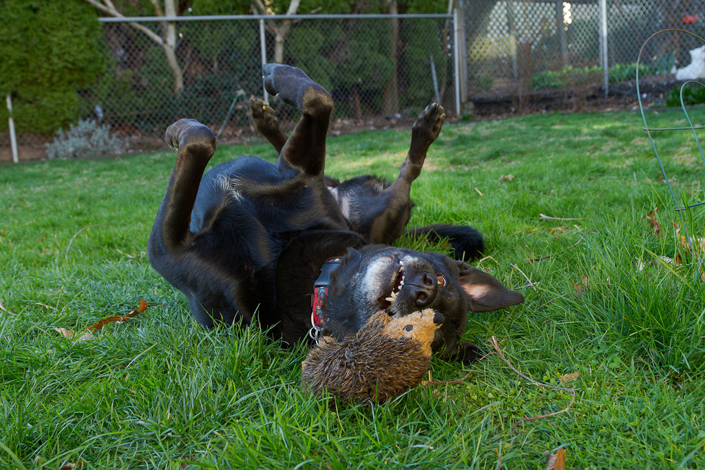 Our dog Ellie lies on her back and prepares to grab her baby hedgehog dog toy while playing in the backyard in February 2010