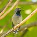 Seychelles Sunbird 501_8884.jpg
