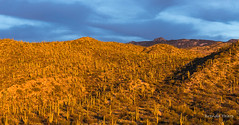 Sunset light on Saguaro Forest