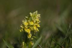 Elder-scented Orchid (Hylde-gøgeurt), Bjergene