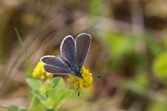 Small Blue (Dværgblåfugl), Roskilde