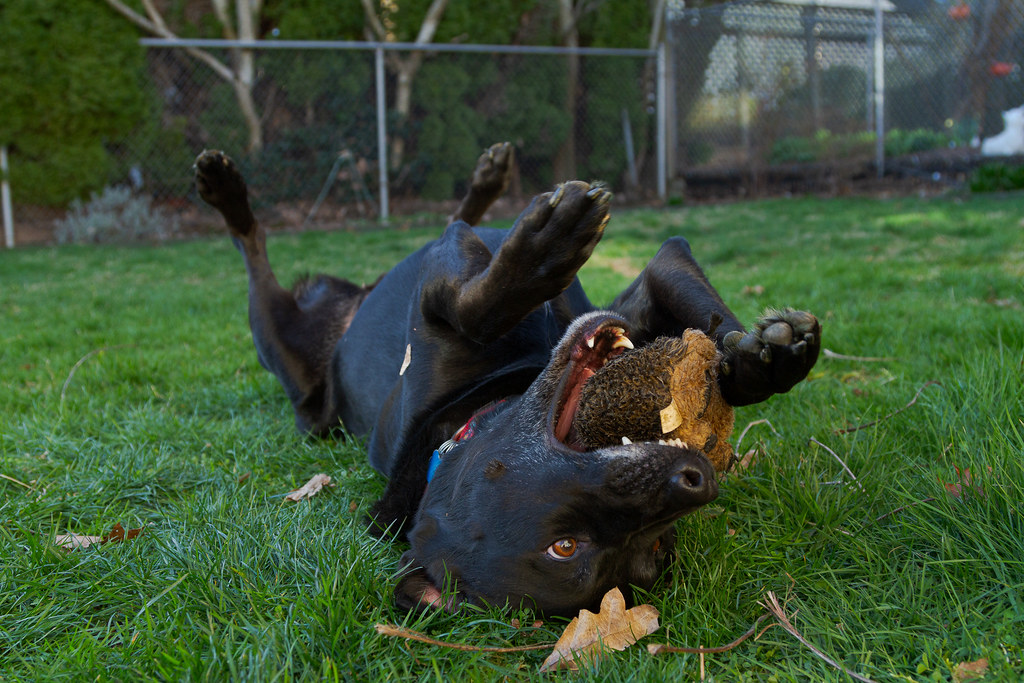 Our dog Ellie lies on her back and holds her baby hedgehog in her mouth with the aid of her front paws while playing in the backyard in February 2010