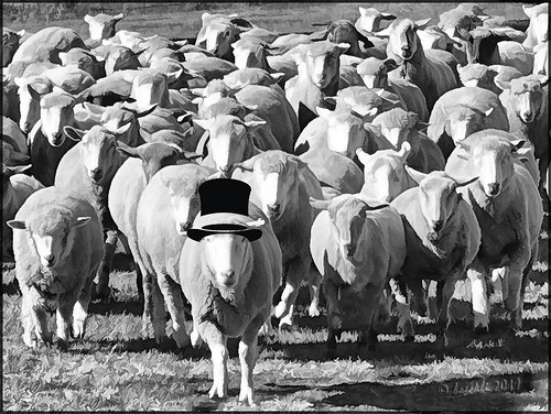 sheep 014228 schaf schafe animals tiere blackwhite blackandwhite schwarzweiss textures texturen texture textur topaz topazsimplify topazstudio photoborder rahmen frame outdoor outside australia tobruksheepstation newsouthwales crazytuesday