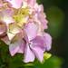 Ορτανσία - Hydrangea