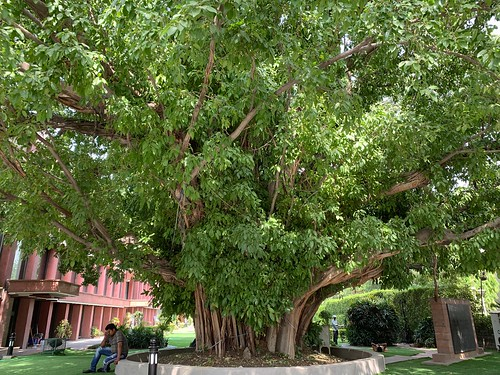 City Landmark - Paakar Tree, Constitution Club of India, Central Delhi