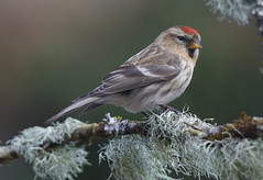 REDPOLL  ...Powys...Click on Image for more detail.