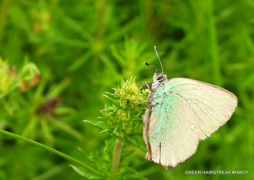 Green Hairstreak Callophrys Rubi Ka Loh Friss Roo By