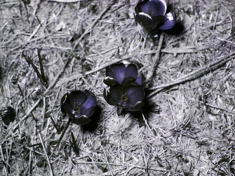 Crocus vernus (UV-A)