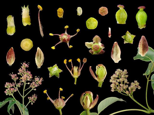 Rutaceae Phellodendron amurense var. wilsonii