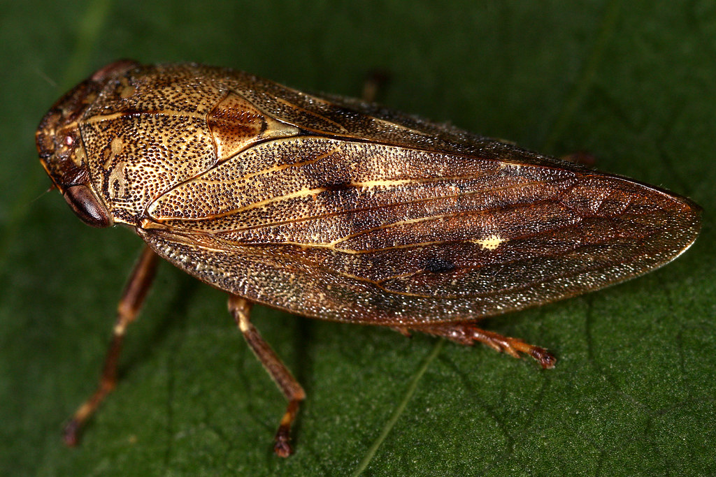 Aphrophora major