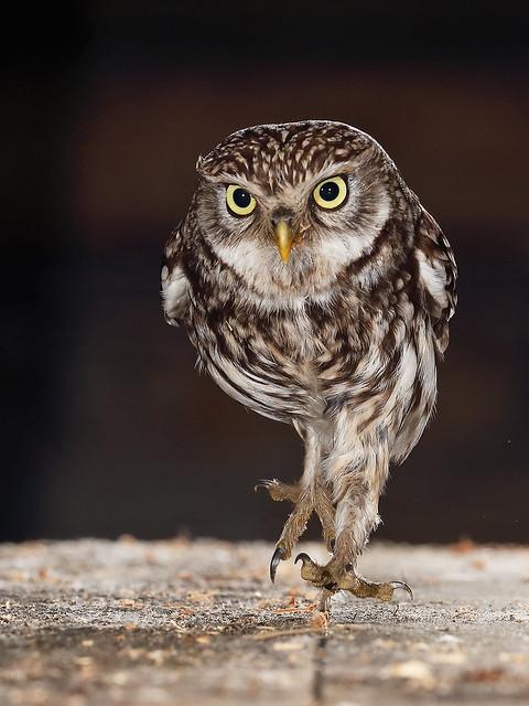 Little Owl running in the barn.