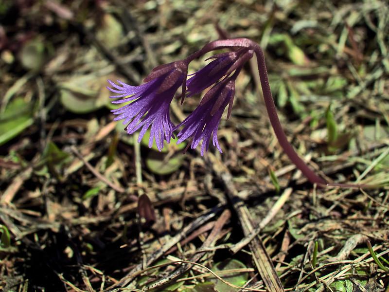 Soldanella alpina (VIS)