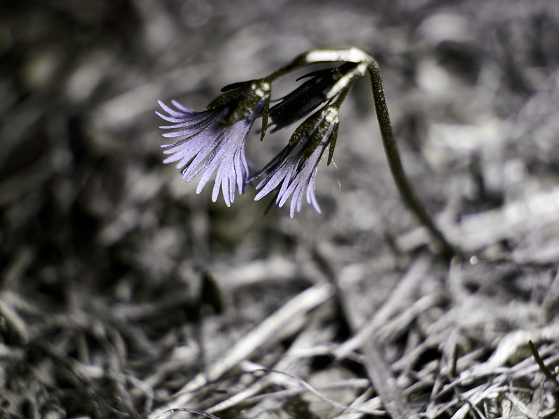 Soldanella alpina (UV-A)