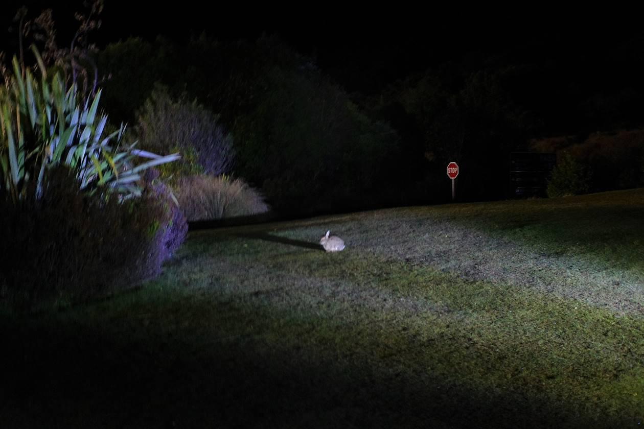 マウントクックにいたウサギ