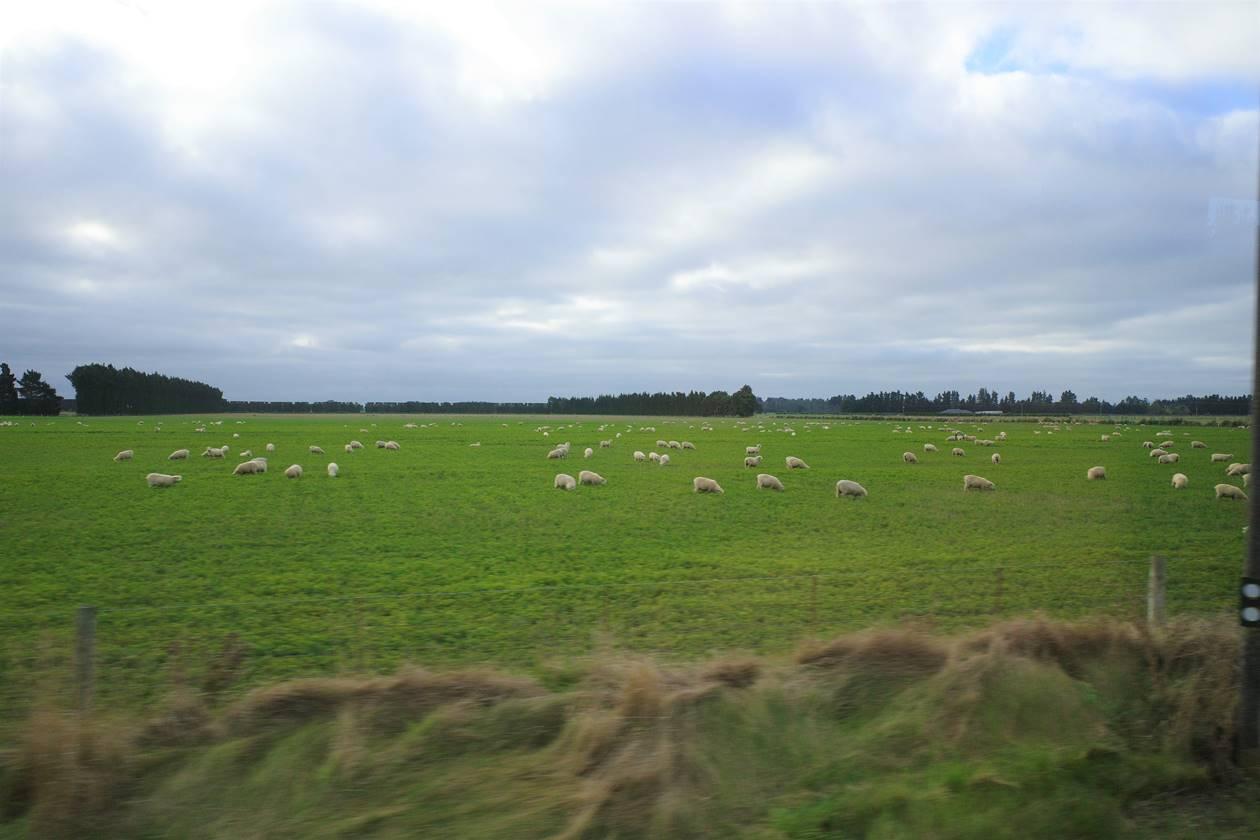 ニュージーランド・羊牧場