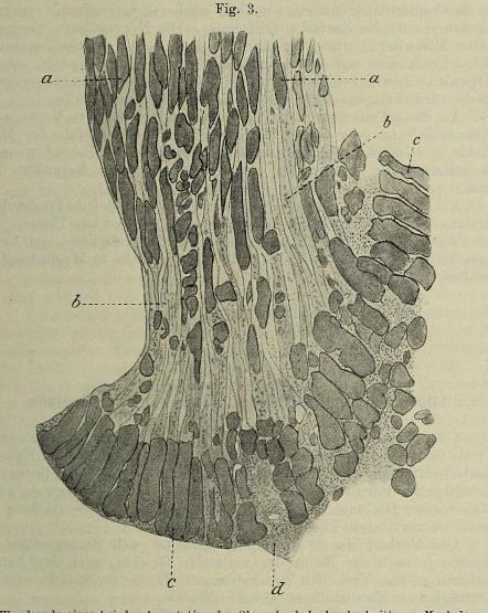 This image is taken from Page 41 of Der Process der Wundheilung : mit Einschluss der Transplantation