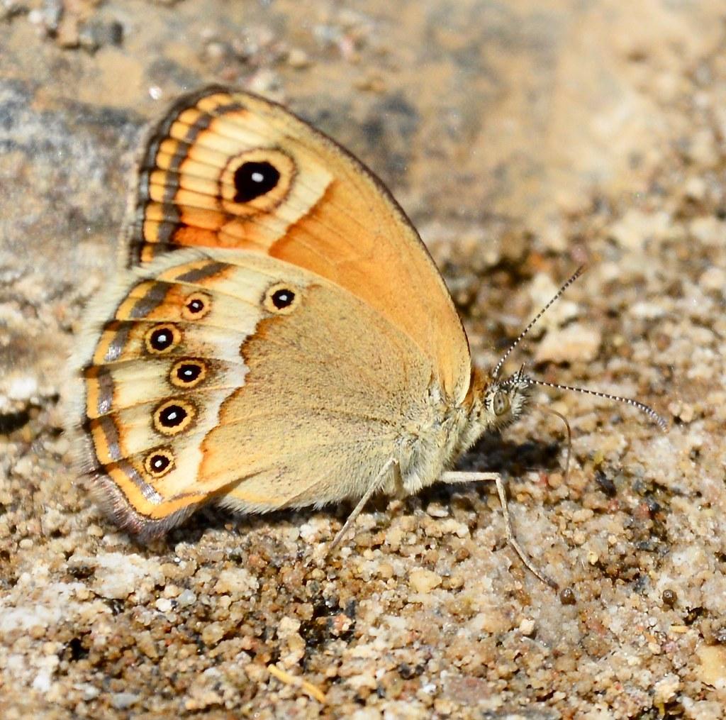 Dusky Heath butterfly Coenonympha Dorus Casares DSC_4046