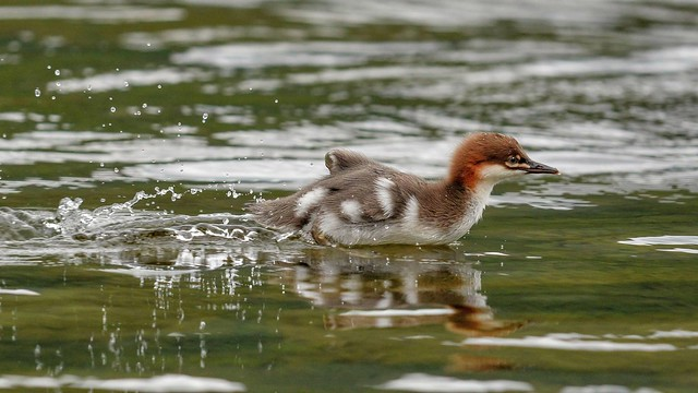 Merganser Chick Trying To Keep Up With Mum ...
