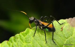 Wasp mimicking Katydid Nymph, Aganacris velutina, Phaneropterinae, Tettigoniidae