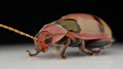 Flea Beetle grooming its Antennas