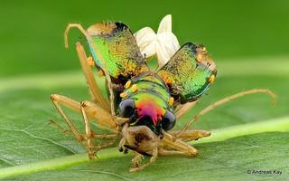 Tiger Beetle, Tetracha sp., Carabidae
