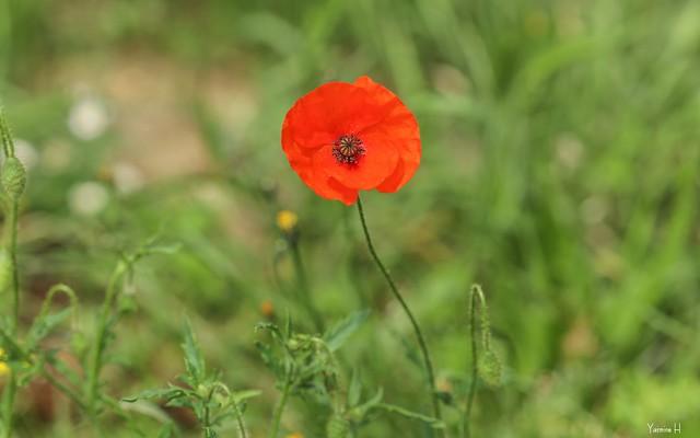 Poppy - 6945
