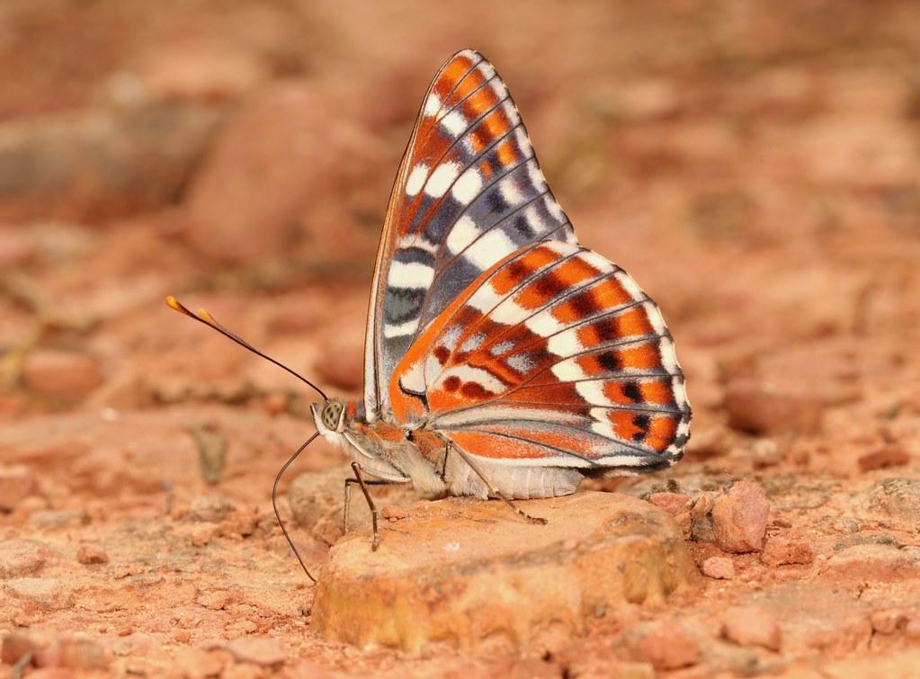Oberthur's Admiral (Chalinga elwesi, Nymphalidae)