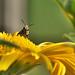 Gemeine Löcherbiene (Heriades truncorum) (2)