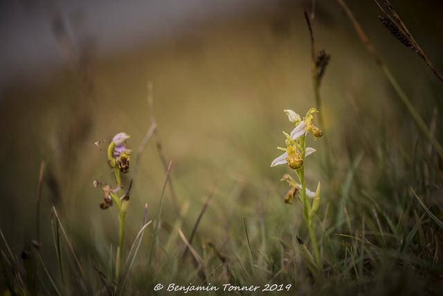 Bee Orchid - Ophrys apifera var alba