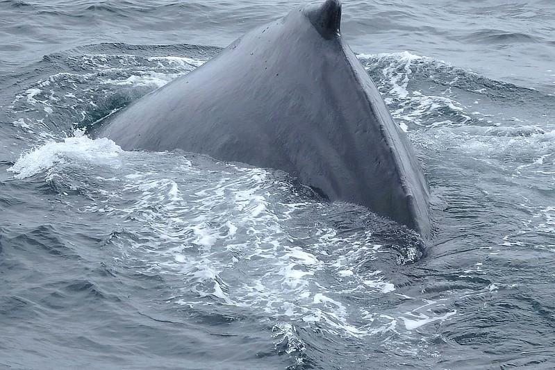 Humpback Whales at Monterey Bay, California, Usa 📍