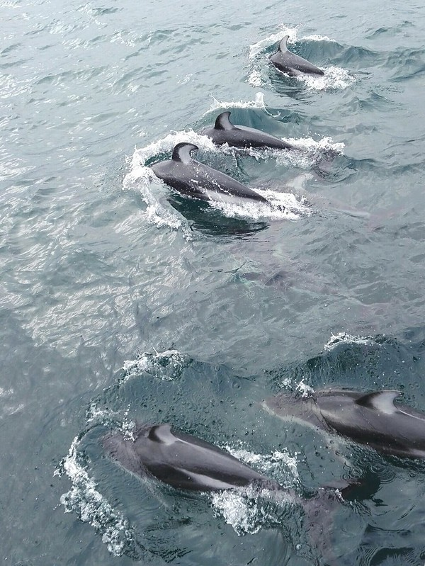 Dolphins at Monterey Bay, California, Usa 📍