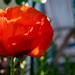 Mohnblüte - Poppy