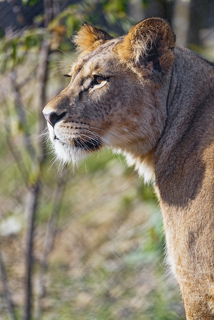 Profile of a lioness