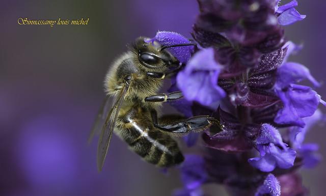 Honey bee / Abeille domestique