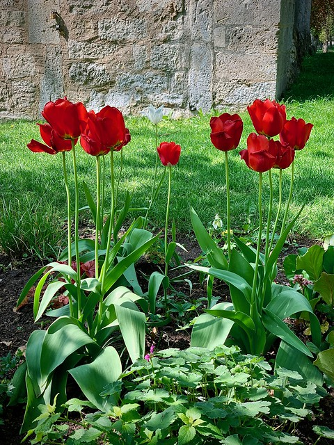 Tulips and stone