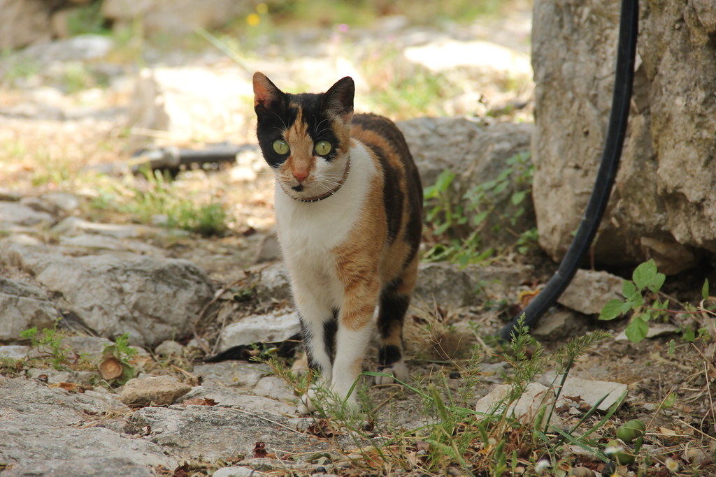 Pretty little tortoiseshell and white cat wandering the grounds of Himara Castle