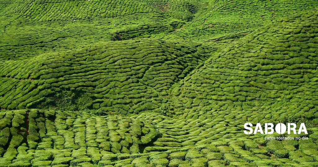 Parcela de té - cultivo