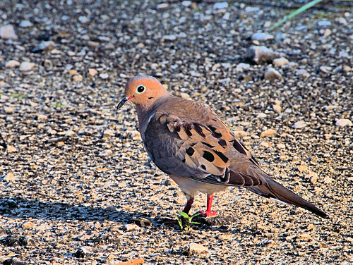 Mourning Dove 20190619