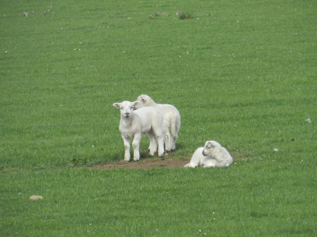 Three lambs, Abersky, May 2019