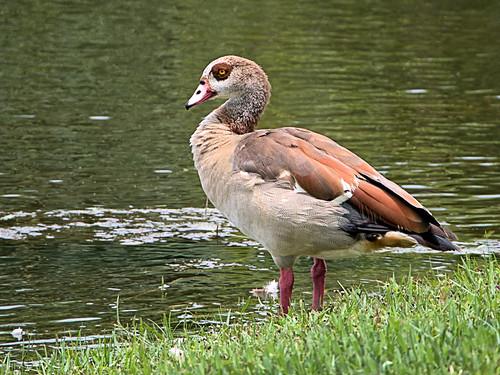 Egyptian Goose 01-20190618