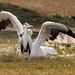 Pelican landing behind Grey Heron
