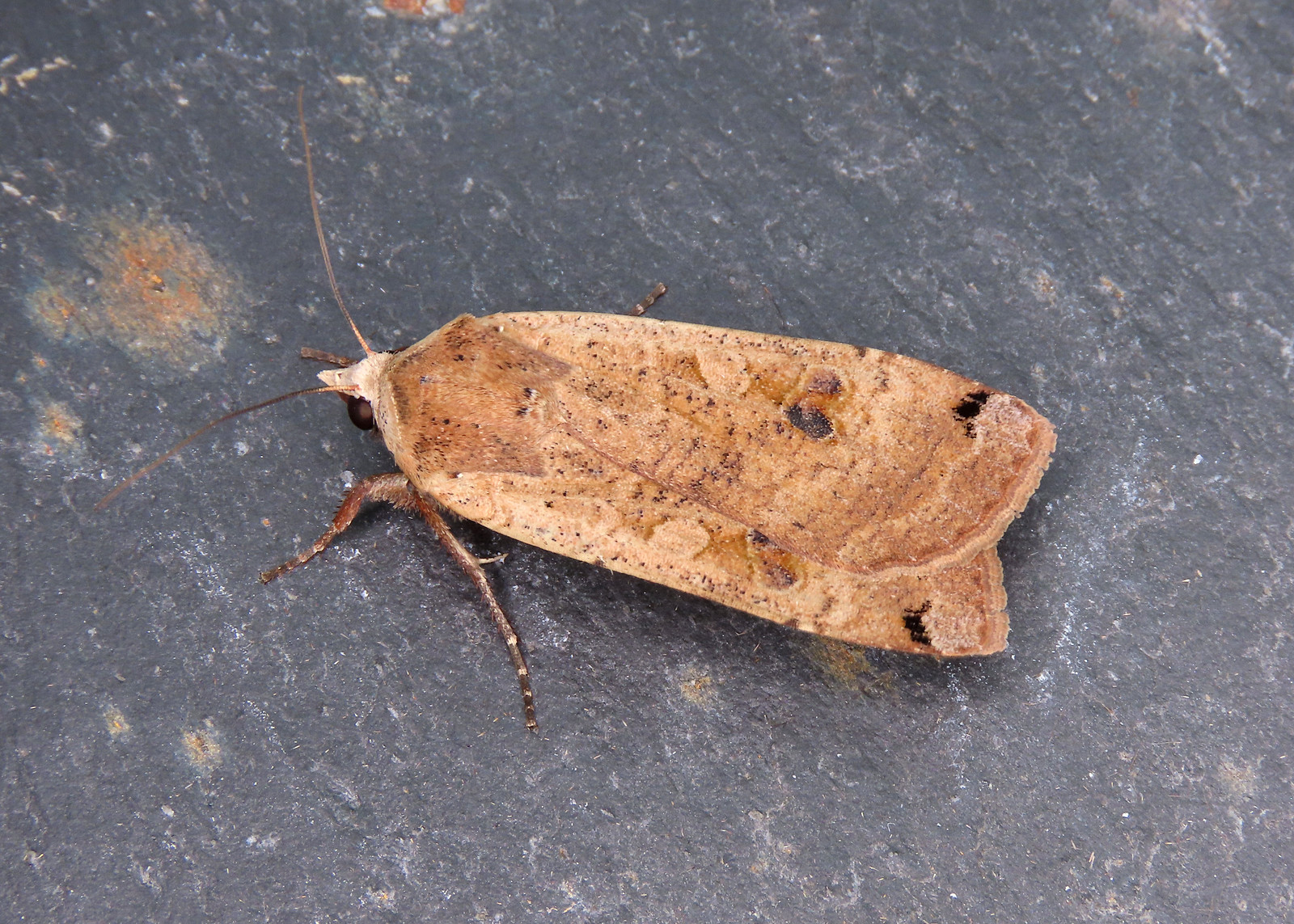 73.342 Large Yellow Underwing - Noctua pronuba